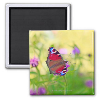 A brightly coloured Peacock butterfly is Square Magnet