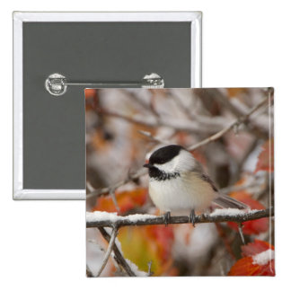 Adult Black-capped Chickadee in Snow, Grand 15 Cm Square Badge