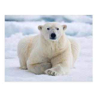 Adult polar bear on the summer pack ice postcard