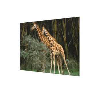Africa, Kenya, Masai Mara. Masai giraffe Gallery Wrapped Canvas