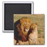 Africa, Namibia, Okonjima. Lion & lioness Square Magnet