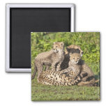 Africa. Tanzania. Cheetah mother and cubs Square Magnet