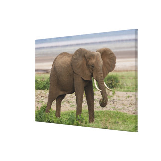 Africa. Tanzania. Elephant at Lake Manyara NP. Gallery Wrapped Canvas
