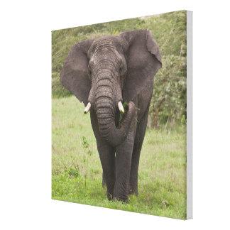 Africa. Tanzania. Elephant at Ngorongoro Crater, Gallery Wrap Canvas