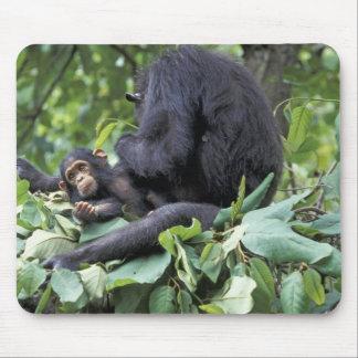 Africa, Tanzania, Gombe NP Female chimpanzee Mouse Pad