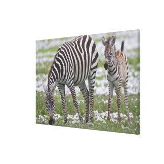 Africa. Tanzania. Zebra mother and colt at Stretched Canvas Print