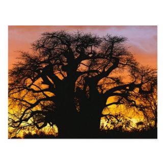 African baobab tree, Adansonia digitata, Postcard