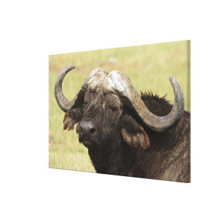 African Buffalo, Syncerus caffer, standing in Canvas Prints