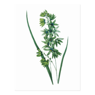 African corn lily(Ixia viridiflora) by Redouté Postcard