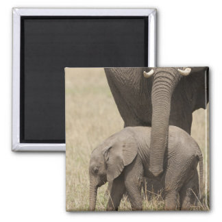 African Elephant mother with baby walking 2 Square Magnet