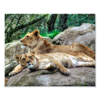 African Lioness Photo