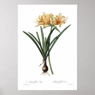 Amaryllis aurea poster