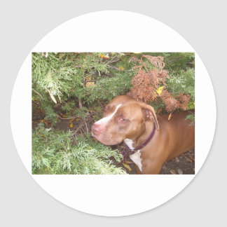 American Pit Bull Terrier- A Family Dog Round Sticker