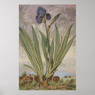 Ancient Botanical Art Iris Poster