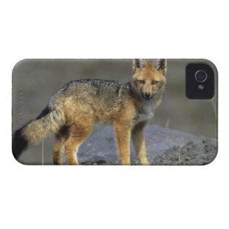 Andean Fox, (Dusicyon culpaeus), Paramo Cotopaxi iPhone 4 Covers