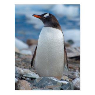 Antarctica. Neko Harbor. Gentoo Penguin Postcard