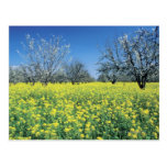 Apple trees in a mustard field, Napa Valley, Postcard