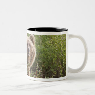 Arctic grizzly bear forages for soap berries Two-Tone mug