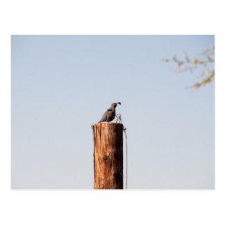 Arizona Male Quail Postcard