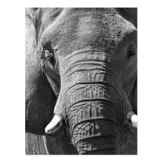 Asian Elephant in Black and White Postcard