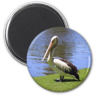 Australian Pelican along the River Torrens. 6 Cm Round Magnet