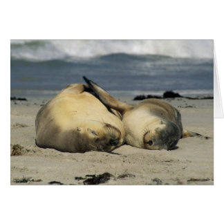 Australian Sea Lions, Neophoca cinerea), Greeting Card