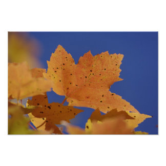 Autumn maple leaf and blue sky, White Poster