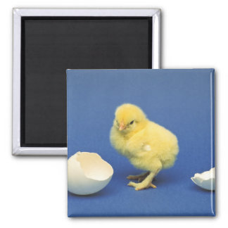 Baby chick square magnet