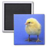 Baby chicken. square magnet