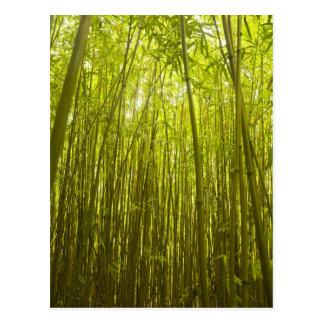 Bamboo Forest near Waikamoi Ridge Trail, North Postcard