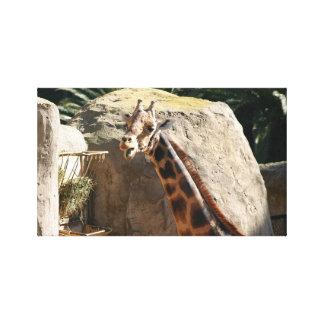 Baringo Giraffe Gallery Wrapped Canvas