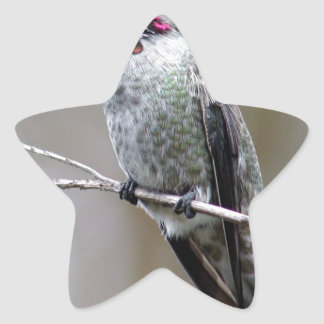 Beautiful Hummingbird Posing for photos Star Sticker