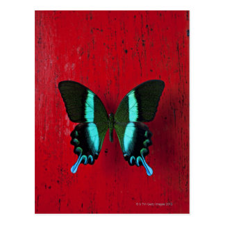Black and blue butterfly on red wall postcard