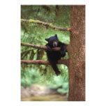 black bear, Ursus americanus, cub in a tree Photographic Print