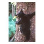 black bear, Ursus americanus, cub in tree, Photographic Print