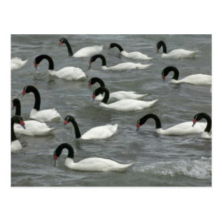 Black-necked swans (Cygnus melancoryphus) on Postcard