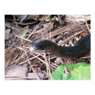 Black Racer Hunting Postcard