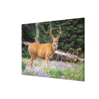 Black-tailed deer, buck eating wildflowers, stretched canvas print