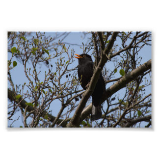 Blackbird Photo Print