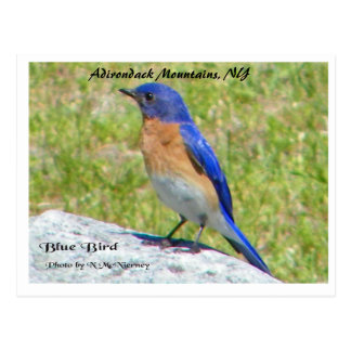 Bllue Bird, Adirondack Mountains, NY Postcard