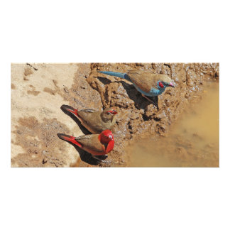 Blue and Red Birds Personalized Photo Card