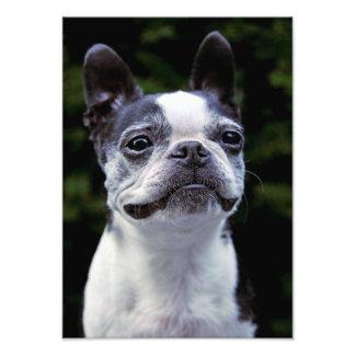 Boston Terrier, Color, Photograph