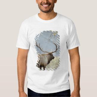 Bull Elk, Cervus canadensis, in the Shirts