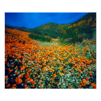 California Poppies and Popcorn wildflowers Poster