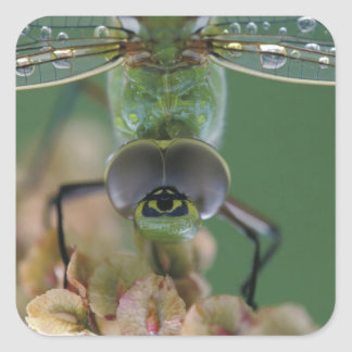 Canada, Ontario, close-up of Green Darner on Square Sticker
