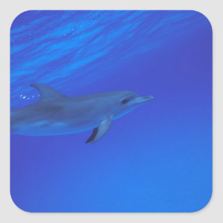 Caribbean, Bahamas Spotted dolphin Square Sticker