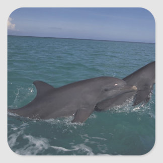 Caribbean, Bottlenose dolphins Tursiops 2 Square Sticker