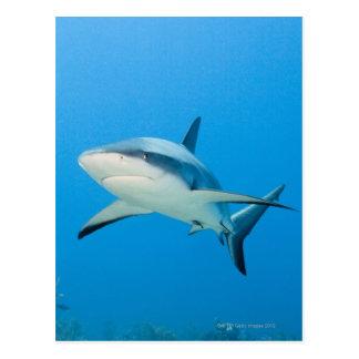 Caribbean reef shark (Carcharhinus perezi) Postcard