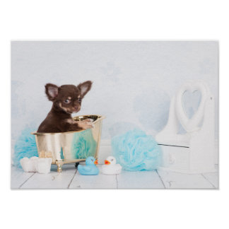 Chihuahua in bath poster