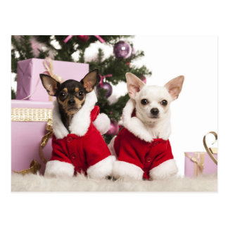 Chihuahua Sitting And Wearing A Christmas Suit Postcard
